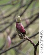 Купить «Весна. Розовый бутон магнолии», фото № 214963, снято 4 марта 2008 г. (c) Demyanyuk Kateryna / Фотобанк Лори