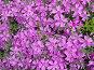 Розовые цветы — Лобелия каскадная (лат. Lobelia erinus), фото № 216907, снято 23 июля 2017 г. (c) ElenArt / Фотобанк Лори