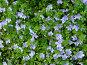 Голубые цветы, фото № 216911, снято 23 июля 2017 г. (c) ElenArt / Фотобанк Лори