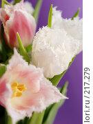 Тюльпаны. Стоковое фото, фотограф Лифанцева Елена / Фотобанк Лори