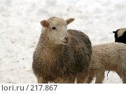 Купить «Овца», фото № 217867, снято 7 февраля 2008 г. (c) Карасева Екатерина Олеговна / Фотобанк Лори