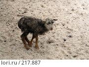 Купить «Маленький ягненок», фото № 217887, снято 2 февраля 2008 г. (c) Карасева Екатерина Олеговна / Фотобанк Лори