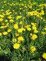 Желтые одуванчики, фото № 218055, снято 22 октября 2016 г. (c) ElenArt / Фотобанк Лори