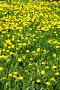 Желтые одуванчики, фото № 218067, снято 24 апреля 2017 г. (c) ElenArt / Фотобанк Лори