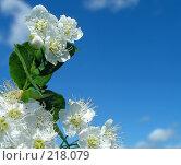 Купить «Весна. Белые цветы на фоне голубого неба.», фото № 218079, снято 15 сентября 2019 г. (c) ElenArt / Фотобанк Лори