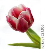 Купить «Тюльпан», фото № 221955, снято 9 марта 2008 г. (c) Ирина Корягина / Фотобанк Лори