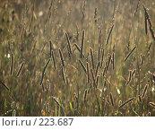 Купить «Полевые травы в лучах восходящего солнца», фото № 223687, снято 17 февраля 2019 г. (c) Ольга Хорькова / Фотобанк Лори