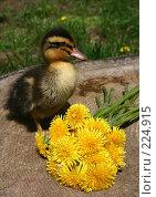 Купить «Маленькая утка и желтые цветы летним днем», фото № 224915, снято 26 мая 2007 г. (c) Останина Екатерина / Фотобанк Лори