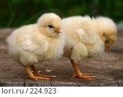 Купить «Два желтых цыпленка», фото № 224923, снято 26 мая 2007 г. (c) Останина Екатерина / Фотобанк Лори