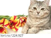 Купить «Взгляд серой кошки с  красными тюльпанами», фото № 224927, снято 7 марта 2008 г. (c) Останина Екатерина / Фотобанк Лори