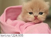 Купить «Взгляд маленького симпатичного пушистого котенка», фото № 224935, снято 4 марта 2008 г. (c) Останина Екатерина / Фотобанк Лори