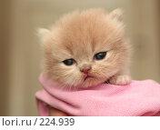 Купить «Взгляд маленького симпатичного пушистого котенка», фото № 224939, снято 4 марта 2008 г. (c) Останина Екатерина / Фотобанк Лори