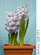 Купить «Гиацинты голубого цвета», фото № 225311, снято 17 марта 2008 г. (c) Светлана Силецкая / Фотобанк Лори