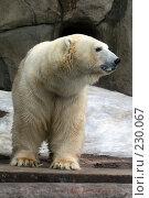 Купить «Белый Медведь», фото № 230067, снято 10 февраля 2008 г. (c) Карасева Екатерина Олеговна / Фотобанк Лори