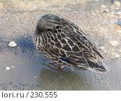 Купить «Отдыхающая утка», фото № 230555, снято 20 марта 2008 г. (c) Юлия Селезнева / Фотобанк Лори