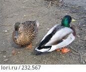 Купить «Утка и селезень», фото № 232567, снято 20 марта 2008 г. (c) Юлия Селезнева / Фотобанк Лори