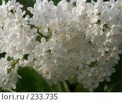 Купить «Цветы сирени», фото № 233735, снято 1 июня 2020 г. (c) VPutnik / Фотобанк Лори