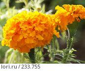 Купить «Желтая бархотка», фото № 233755, снято 24 июля 2004 г. (c) VPutnik / Фотобанк Лори