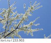Купить «Цветущее дерево», фото № 233903, снято 22 апреля 2006 г. (c) Игорь Струков / Фотобанк Лори