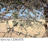 Верблюжья колючка. Стоковое фото, фотограф Михаил Марков / Фотобанк Лори