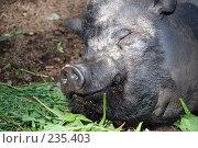 Купить «Свинья», фото № 235403, снято 20 июня 2007 г. (c) Нестерова Анна / Фотобанк Лори