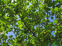 Яблони на фоне голубого неба, урожай яблок, фото № 236127, снято 29 июля 2007 г. (c) Ольга Хорькова / Фотобанк Лори