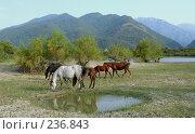 Купить «Табун лошадей пасется на фоне гор. Абхазия, Кавказ.», фото № 236843, снято 28 августа 2006 г. (c) Виктор Филиппович Погонцев / Фотобанк Лори