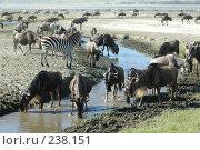 Купить «Африка: Танзания, кратер Нгоронгоро, животные на водопое», фото № 238151, снято 18 февраля 2005 г. (c) Андрей Каплановский / Фотобанк Лори
