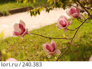 Magnolia \ Магнолия. Стоковое фото, фотограф Лифанцева Елена / Фотобанк Лори