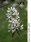 Купить «Гроздь белых весенних цветов», фото № 241291, снято 24 февраля 2019 г. (c) Demyanyuk Kateryna / Фотобанк Лори