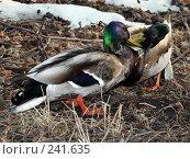 Купить «Селезни, драка», фото № 241635, снято 30 марта 2008 г. (c) Константин Голубкин / Фотобанк Лори