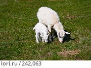 Купить «Коза с козлёнком, пасущиеся на зеленой травке», фото № 242063, снято 29 марта 2008 г. (c) Борис Панасюк / Фотобанк Лори
