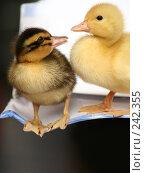 Купить «Две маленькие утки вместе», фото № 242355, снято 24 мая 2007 г. (c) Останина Екатерина / Фотобанк Лори