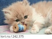 Купить «Взгляд маленького симпатичного пушистого котенка», фото № 242375, снято 28 марта 2008 г. (c) Останина Екатерина / Фотобанк Лори