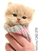 Купить «Взгляд маленького симпатичного пушистого котенка», фото № 242379, снято 14 марта 2008 г. (c) Останина Екатерина / Фотобанк Лори