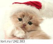 Купить «Взгляд маленького симпатичного пушистого котенка», фото № 242383, снято 17 марта 2008 г. (c) Останина Екатерина / Фотобанк Лори