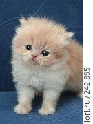 Купить «Взгляд маленького симпатичного пушистого котенка», фото № 242395, снято 18 марта 2008 г. (c) Останина Екатерина / Фотобанк Лори
