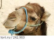 Купить «Верблюд», фото № 242903, снято 13 июня 2006 г. (c) Ирина Игумнова / Фотобанк Лори