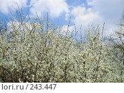 Купить «Цветение кустарников», фото № 243447, снято 4 апреля 2008 г. (c) Федор Королевский / Фотобанк Лори