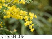 Купить «Мимоза», фото № 244299, снято 24 марта 2008 г. (c) Лифанцева Елена / Фотобанк Лори