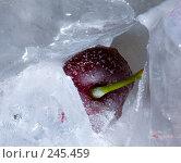 Купить «Вишня во льду», фото № 245459, снято 7 декабря 2007 г. (c) Виноградов Илья Владимирович / Фотобанк Лори