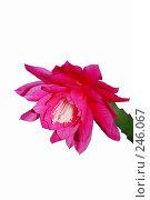 Купить «Цветок Эпифиллума (Epiphyllum)», эксклюзивное фото № 246067, снято 1 апреля 2008 г. (c) Алёшина Оксана / Фотобанк Лори