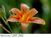 Купить «Цветок лилии», фото № 247343, снято 25 июня 2006 г. (c) Виктор Филиппович Погонцев / Фотобанк Лори