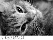 Купить «Мордочка котенка», фото № 247463, снято 17 февраля 2007 г. (c) Андрей Доронченко / Фотобанк Лори