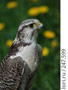 Купить «Хищная птица», фото № 247599, снято 19 мая 2007 г. (c) Надежда Келембет / Фотобанк Лори