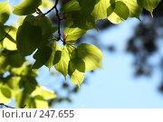 Купить «Зеленые листья на фоне неба в контровом свете», фото № 247655, снято 4 апреля 2008 г. (c) Demyanyuk Kateryna / Фотобанк Лори