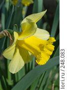 Купить «Нарцисс - весеннее буйство красок», фото № 248083, снято 10 апреля 2008 г. (c) Федор Королевский / Фотобанк Лори