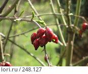 Купить «Ягодки и молоденькие листики», фото № 248127, снято 9 апреля 2008 г. (c) Мария Коробкина / Фотобанк Лори