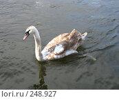 Купить «Серый лебедь на реке», фото № 248927, снято 20 марта 2008 г. (c) Юлия Селезнева / Фотобанк Лори