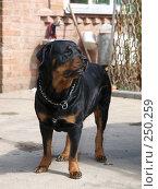 Собака в стойке. Стоковое фото, фотограф Константин Босов / Фотобанк Лори